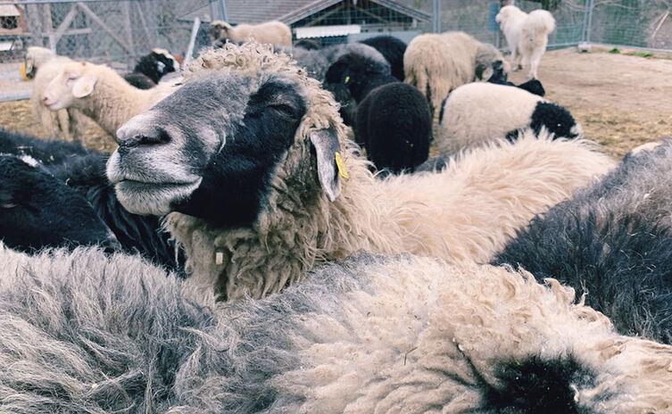 Glueckliches Schaf Schafzucht Aschauer
